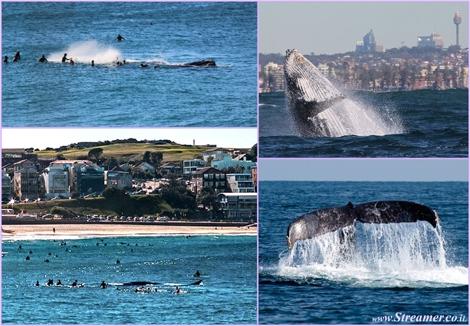 whale attack in sydney australia תקיפת ליוויתן בסידני אוסטרליה