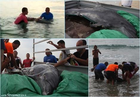 נשמה: רוחצים בנתניה הצילו דולפין שהיה במצוקה.  Beach hogers rescue a dlophin in netanya Israel
