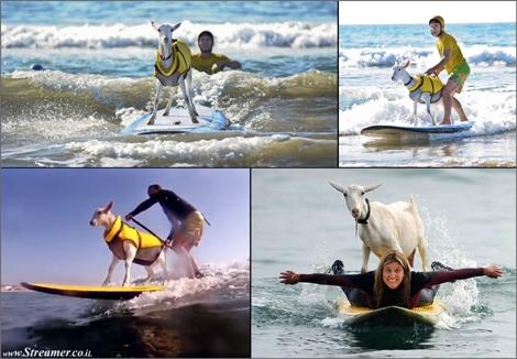 surfing goat pismo beach cal עז עזה גולשת גלים