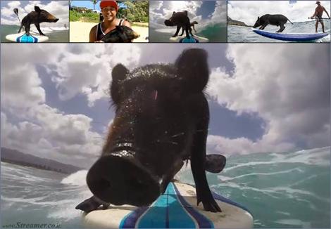 אוינק אוינק... החזיר קאמה גולש על הגלים Kama the surfing pig