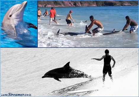 "<font color=""#003366""><strong>An amazing video documantaion of people selflessly springing into action as the tide carried a pod of unsuspecting <font color=""#8e0000"">dolphins</font> toward the beach at Arraial do Cabo in Brazil. Lots of respect to the great work of bathers. - Thank you! click here to <a href=""http://streamer.co.il/articles/view/130/"">read the article and watch the video</a></strong></font>"