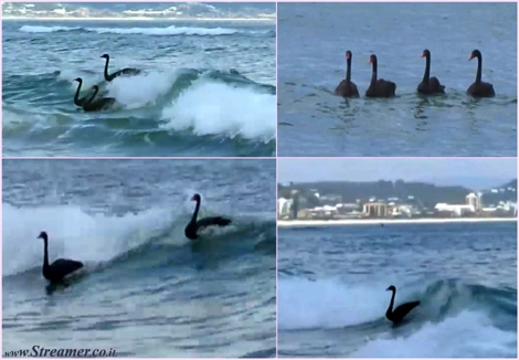 "<font color=""#003366""><strong><font color=""#510051"">Black swans go surfing in Kirra:)</font> A group of swans has been spotted riding waves on the Gold Coast of Australia. Four black swans went out the back and started catching waves, several times, before flying away to another break. Can they also duck dive...:) <a href=""http://streamer.co.il/clips/view/149"">Click here to watch</a></strong></font>"