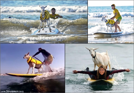 "<font color=""#003366""><strong><font color=""#510000"">Baaa-aaa-aaa-aaa... Surfing goat rides the waves in California.</font> Two goats named Goatee and Pismo are wowing California beachgoers with their surfing skills. <a href=""http://streamer.co.il/clips/view/164/"">Click here to watch</a><br /></strong></font>"