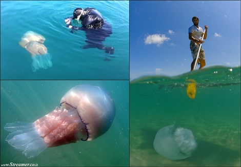 "<font color=""#003366""><strong><font color=""#5b0000"">Giant 20kg jellyfish filmed off the Cornwall.</font> coast Marine expert Matt Slater, with his dog Mango, has swam with a 20kilo barrel jellyfish in the Percuil Estuary near St Mawes. <a href=""http://streamer.co.il/news/view/541/"">Click here to read</a></strong></font>"