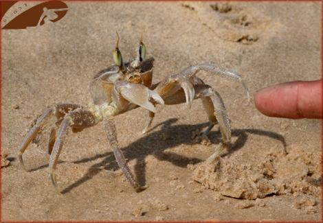 Curious Crab.... Ashqelon Beach, Oct 2007 -