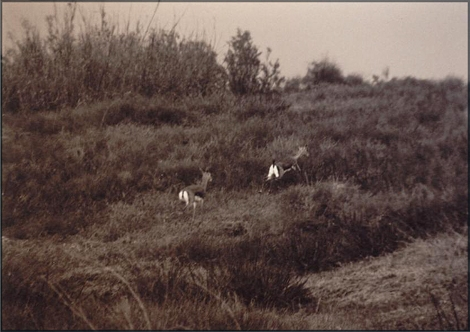 Deers jumping at North shore Ashqelon 1998 - Photo by Yaron Fathi