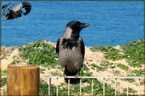 "The crow is the ""Eagle"" of the coast of Israel that - Ashqelon Jan 08-"