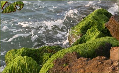 Green seaweed covering rocks at dlila beach Ashqelon, Feb 08