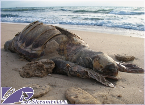 "<div align=""center""><font color=""#333333""><strong>A dead sea turtle washed to the shores of Ashkelon 05/06/2010. The sea turtle was probably hit by a passing boat. Please protect their life for human kind future.</strong></font></div>"