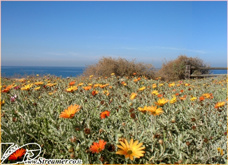 "<strong>Colorful flowers, sky and ocean in shades of blue at Kever Ha-Sheich beach Ashqelon - It's not summer but the start of December. Click here to watch <a href=""http://streamer.co.il/live/"">the recent Daily Show</a></strong>"