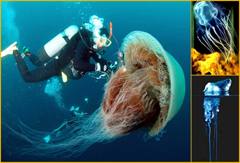 "<font color=""#333333""><strong><font color=""#FF0000"">Giant Jellyfish in Japan, The Blue Bottle and the Box in Australia.</font> as harmless as they may look, Jellyfish are one of the most deadliest creatures in the blue vast. <a href=""http://streamer.co.il/articles/view/103/"">Click here to read more</a> and prepare your vinegar :-)</strong></font>"